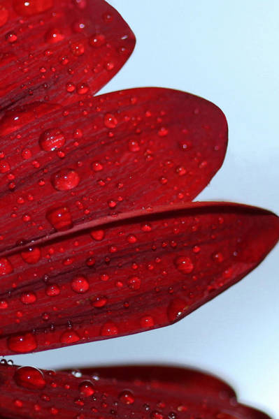 Photograph - Raindrops On Red Flower by Sheila Kay McIntyre
