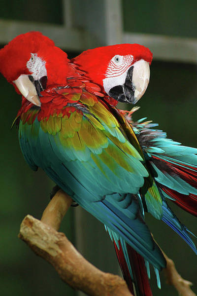 Photograph - 2 Red Macaws by Scott Hovind