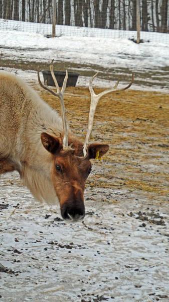 Photograph - Reindeer Games by Cyryn Fyrcyd