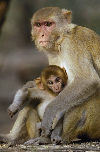 Photograph - Rhesus Macaque Macaca Mulatta Mother by Pete Oxford