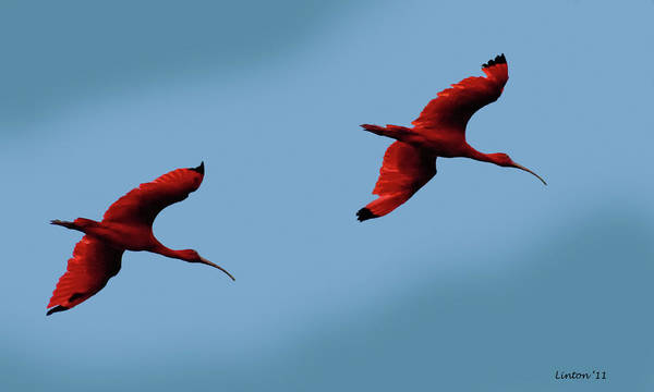 Photograph - Scarlet Ibis by Larry Linton