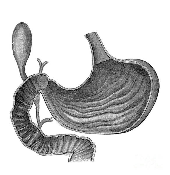 Common Bile Duct Photograph - Stomach And Bile Duct by Science Source