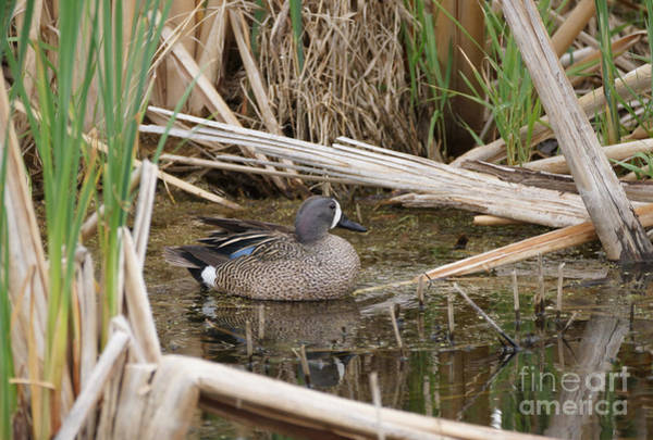Wall Art - Photograph - Teal In The Cattails by Lori Tordsen