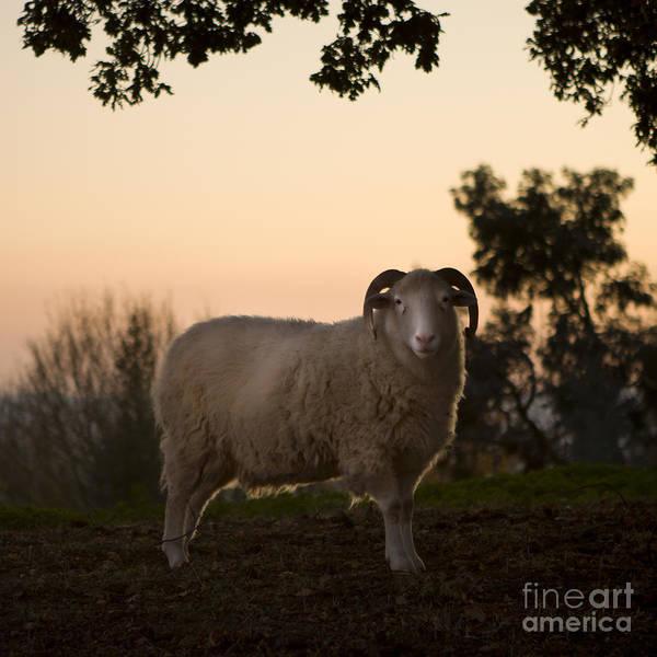 Farms Photograph - The Lamb by Angel Ciesniarska