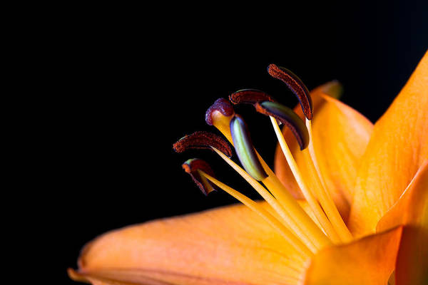 Photograph - Tiger Lily by Jason Smith