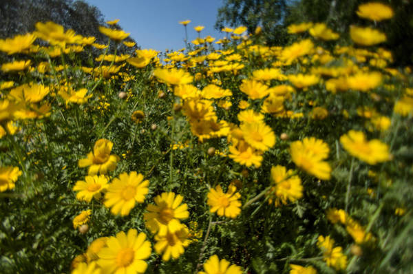 Photograph - Yellow Wildflowers by Michael Goyberg