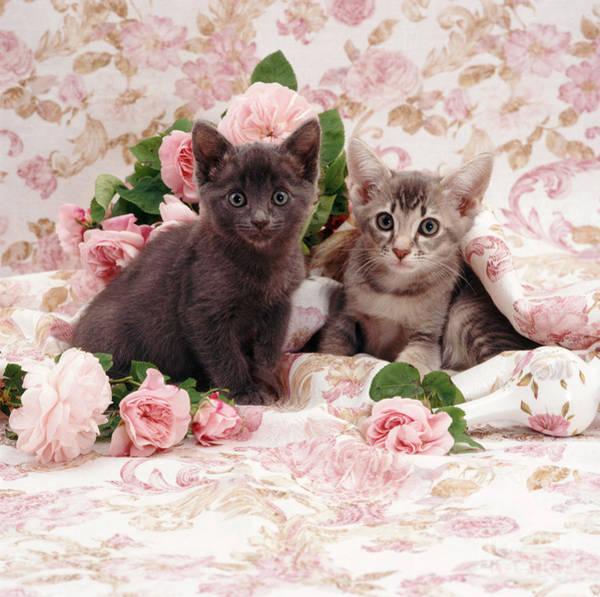 Photograph - Kittens by Jane Burton