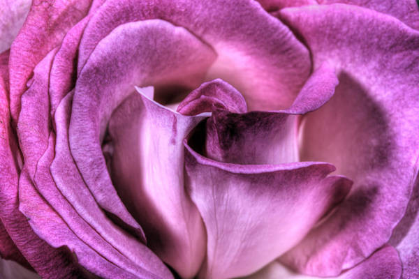 Photograph - Antique Rose by Perla Copernik
