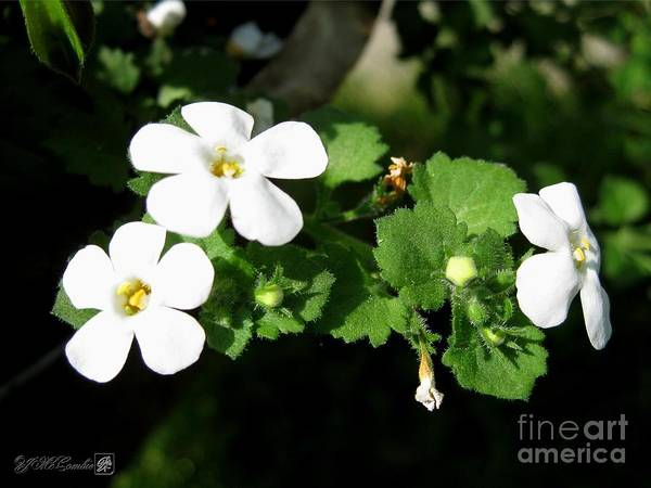 Bacopa Photograph - Bacopa Named Snowtopia by J McCombie