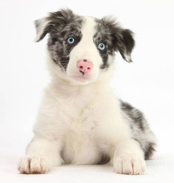 Perky Photograph - Border Collie Pup by Mark Taylor
