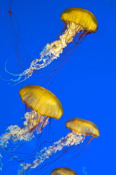 Nematocysts Wall Art - Photograph - Brown Jellyfish by David Nunuk