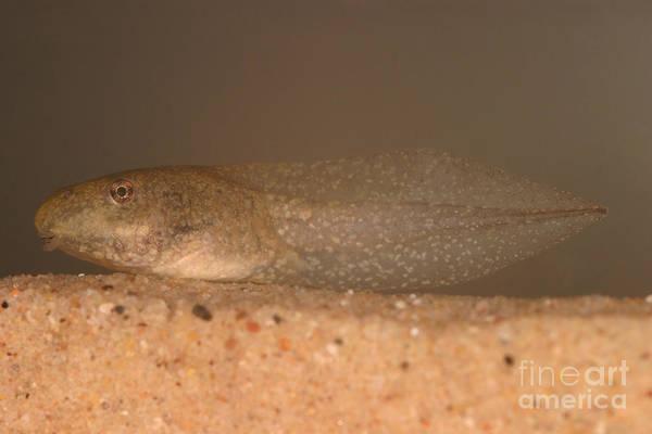 Bull Frog Photograph - Bullfrog Tadpole by Ted Kinsman