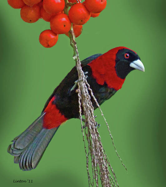 Photograph - Crimson-collared Tanager 2 by Larry Linton
