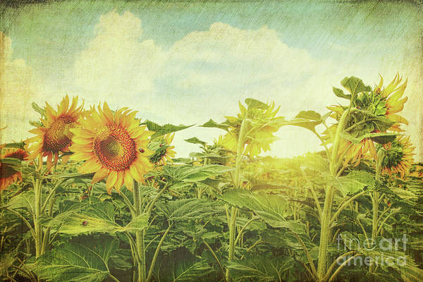 Wall Art - Photograph - Field Of Colorful Sunflowers And Blue Sky  by Sandra Cunningham