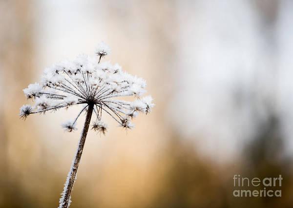 Wild Chervil Wall Art - Photograph - Frozen Flower by Kati Finell