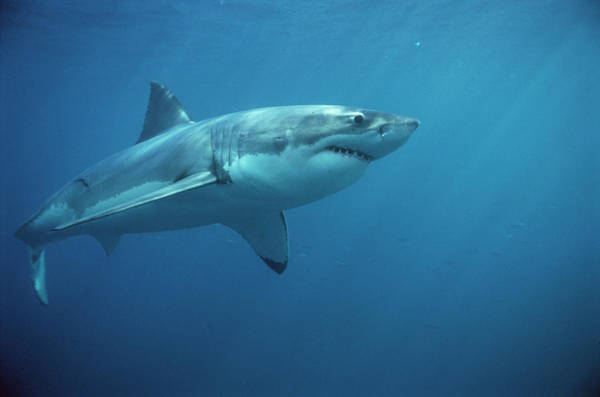 Fish Photograph - Great White Shark Carcharodon by Mike Parry