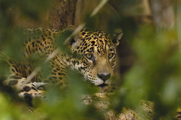 Photograph - Jaguar Panthera Onca Male, Cuiaba by Pete Oxford