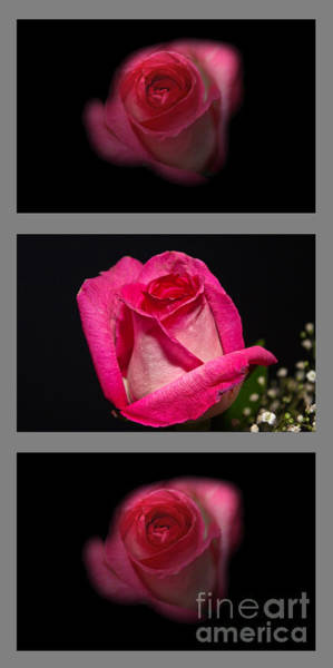 Photograph - 3 Little Roses by Michael Waters