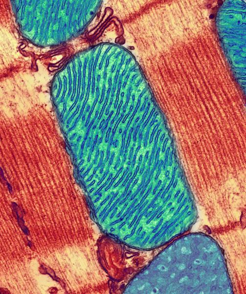 Wall Art - Photograph - Mitochondrion, Tem by Thomas Deerinck, Ncmir