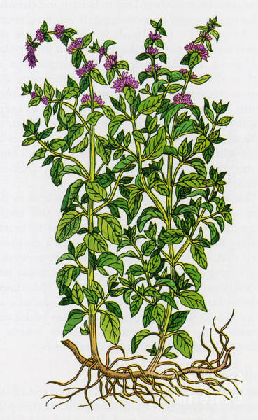 Photograph - Pennyroyal-alchemy Plant by Science Source