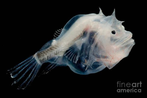 Photograph - Phantom Anglerfish by Dante Fenolio