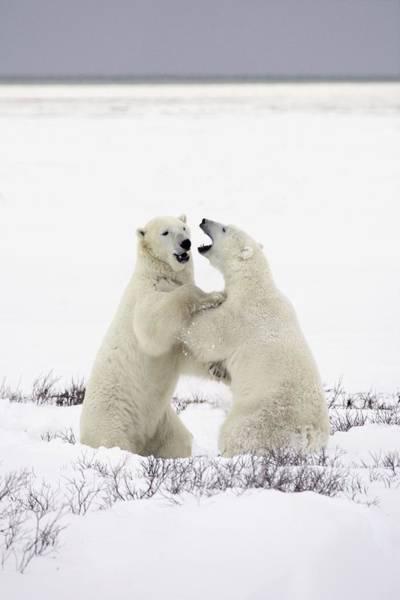 Dancing Bears Photograph - Polar Bears Fighting by Richard Wear