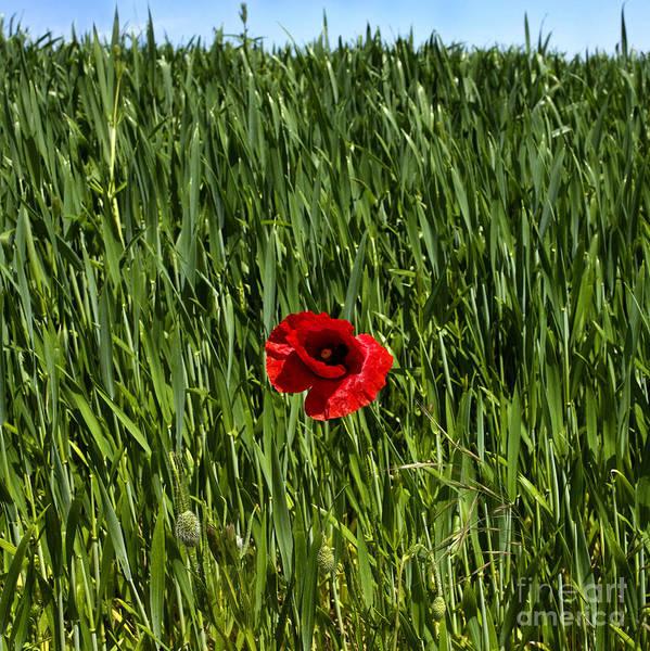 Singly Photograph - Single Poppy Flower  In A Field Of Wheat by Bernard Jaubert
