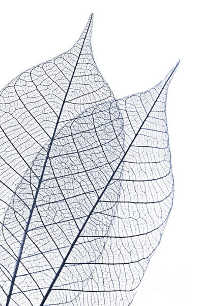 Photograph - Skeleton Leaves by Elena Elisseeva