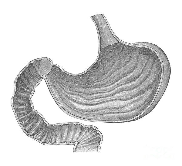 Common Bile Duct Photograph - Stomach by Science Source