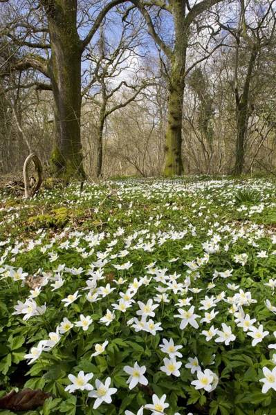 Coppice Photograph - Wood Anemone (anemone Nemorosa) by Bob Gibbons