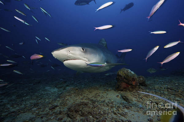 Carcharhinidae Photograph - A Large 10 Foot Tiger Shark Swims by Terry Moore
