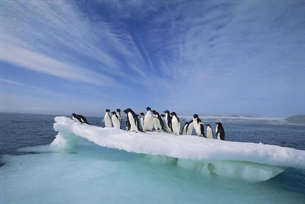 Photograph - Adelie Penguin Pygoscelis Adeliae Group by Tui De Roy