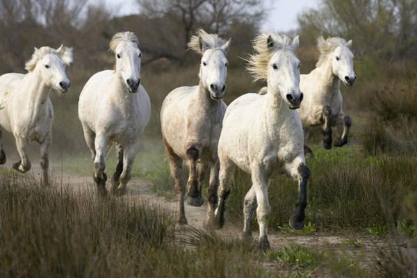 Photograph - Camargue Horse Equus Caballus Group by Konrad Wothe