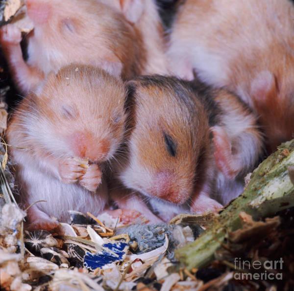 Golden Hamster Photograph - Golden Hamster by Jane Burton