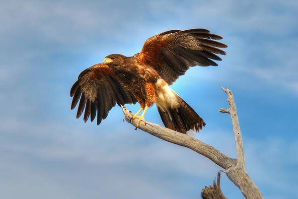 Photograph - Harris Hawk by Tam Ryan