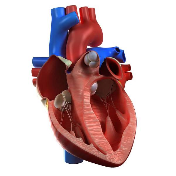 Muscle Tissue Digital Art - Heart Anatomy, Artwork by Sciepro