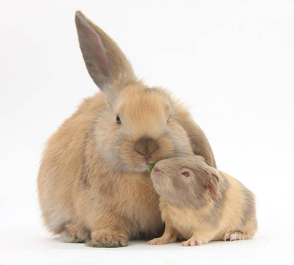 Photograph - Rabbit And Guinea Pig by Mark Taylor