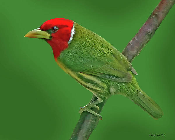 Photograph - Red-headed Barbet by Larry Linton