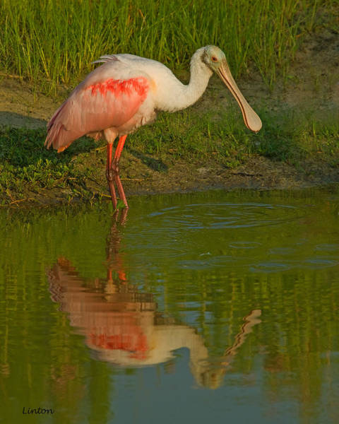 Photograph - Roseate Spoonbill by Larry Linton