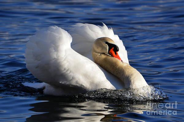 Wing Back Photograph - Swan by Mats Silvan