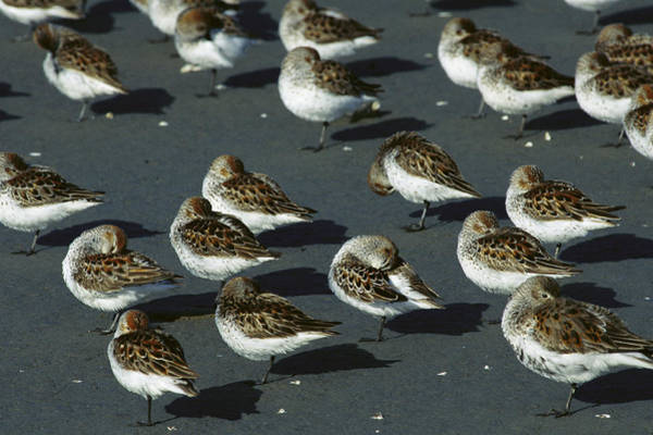 Scolopacidae Photograph - Western Sandpiper Calidris Mauri Flock by Michael Quinton
