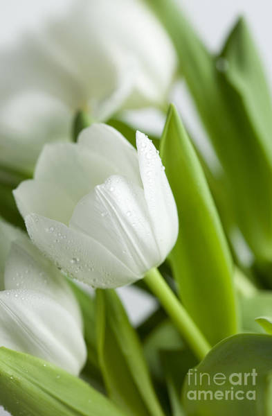 Postcard Photograph - White Tulips by Nailia Schwarz