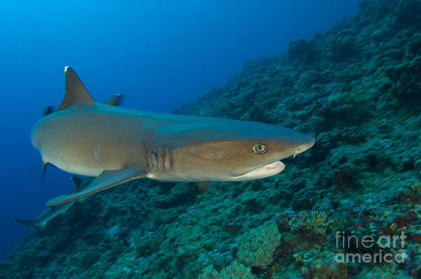 Triaenodon Obesus Photograph - Whitetip Reef Shark, Kimbe Bay, Papua by Steve Jones