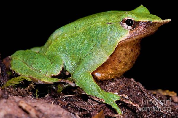 Photograph - Darwins Frog by Dante Fenolio