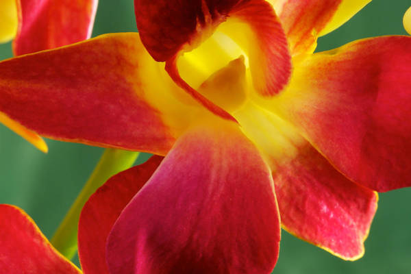Art Print featuring the photograph Dendribium Malone Or Hope Orchid Flower by Perla Copernik