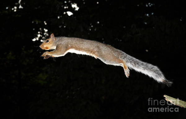 - Jumping Gray Squirrel by Ted Kinsman