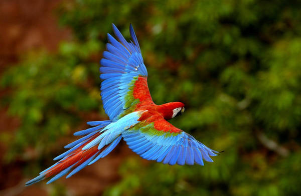 Photograph - Red And Green Macaw Ara Chloroptera by Pete Oxford