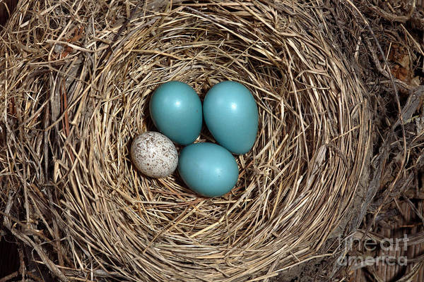 Robin Egg Blue Photograph - Robins Nest And Cowbird Egg by Ted Kinsman