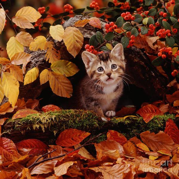 Photograph - Tabby Kitten by Jane Burton