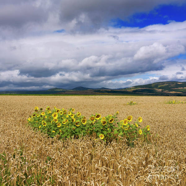 Corn Field Photograph - Sunflowers  by Bernard Jaubert